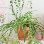 Planten in de slaapkamer - graslelie