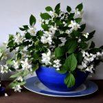 Planten in de slaapkamer - jasmijn